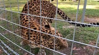 Download Beacher Savannah Cat Goes Home 2017 12 08 a Video