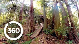 Download Redwoods: Walk Among Giants (360 Video) Video