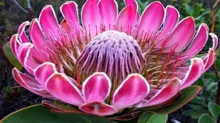 Download Top 25 Most Beautiful Flowers in the World Video