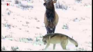 Download Wolf pack (Yellowstone Druid pack) vs Elk (Waipiti) Video