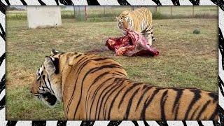 Download Feeding the lads | TIGER/LION FEEDING Video