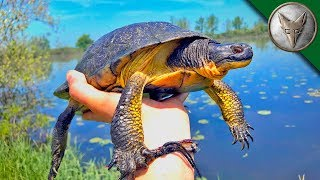 Download VERY RARE Island Turtle Found! Video
