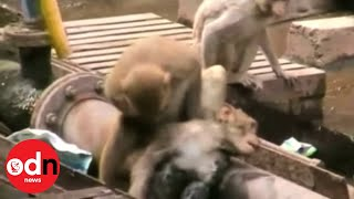 Download Heroic monkey: Monkey saves 'dying' friend at train station in India Video