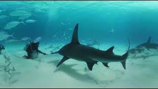 Download VIDEO 360: Nadando entre tiburones martillo en las Bahamas - BBC Earth Video