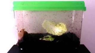 Download 먹이찾는 식용 달팽이 하루 (2016.11.29) Video
