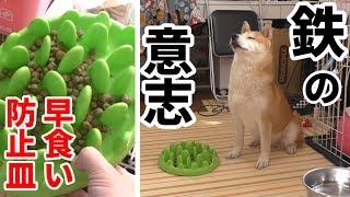 Download 柴犬小春 【断固拒否】早食い防止皿に鉄の意志で立ち向かう柴犬 Video