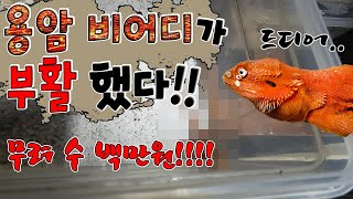 Download 마리당80만원! 용암도마뱀 9마리 탄생! 기분좋은흑형 Video
