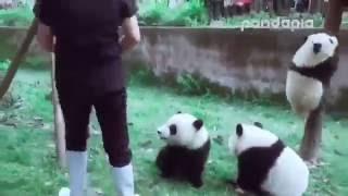 Download Панды мешают уборщице. Panda helps clean up. Video