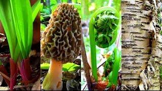 Download Wild Spring Delicacies- Ramps, Morels, Fiddleheads, Birch Sap Video