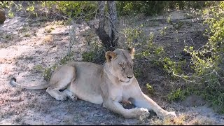 Download Safari Live : The Nkuhuma Pride on drive this morning with Noelle Jan 19, 2018 Video