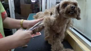 Download POODLE ″ HEAVILY MATTED″ GROOMING @ JY PET SALON Video