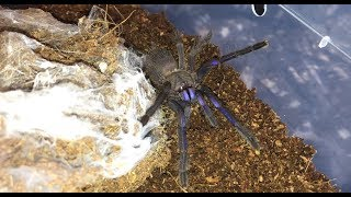 Download Time To Rehouse My 🕷Chilobrachy Sp Electric Blue🕷 Video