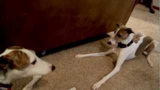 Download Greyhound, Whippet, Italian Greyhounds Video