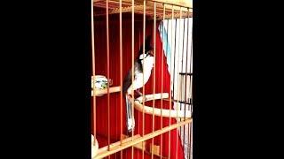 Download Luyện giọng chào mào mỗi sáng -giọng dài 8-9 âm - KÍCH chim cực tốt. Video