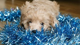 Download VLOG: Picking Up Our 8 Week Old Cavapoo Puppy Video