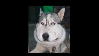Download قصة كلب هسكي حزينه اصيب بمرض ما استغرق علاجه 8 ايام متواصله مع جمال العمواسي Video