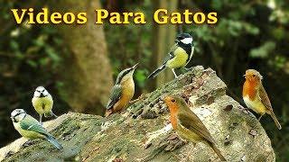 Download Videos Para Gatos : Pájaros Cantando en el Bosque - 8 Horas Video