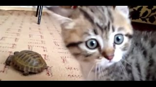 Download Epic Battle: Kitten vs. Turtle Video