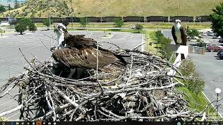 Download Louis and Iris alert when a Bald Eagle soars above the nest 2018 07 22 13 33 12 689 Video