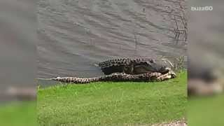 Download Alligator and python fight on Florida golf course Video