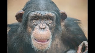 Download If Chimps Could Make New Year's Resolutions Video