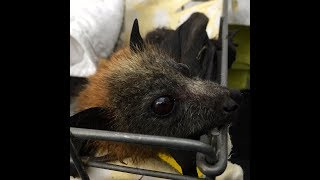 Download Rescued juvenile Flying-Fox immediate care: this is Annie Video