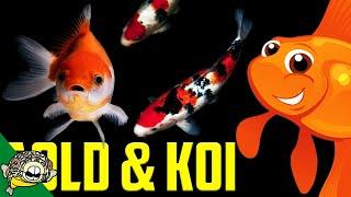 Download Koi and Goldfish live Stream! Video