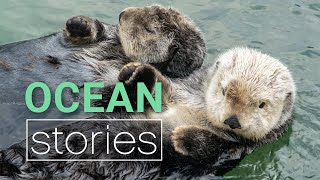 Download Cute Sea Otter Behaviour Decoded Video