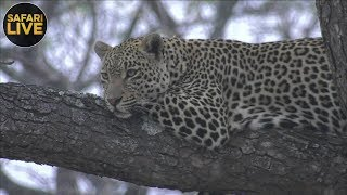 Download safariLIVE - Sunrise Safari - September 15, 2018 Video