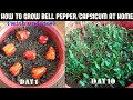 Download How to Grow Bell Pepper/Capsicum at Home (WITH UPDATES) Video