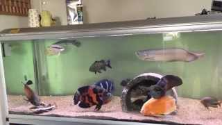 Download Feeding my predator fish monster tank Video