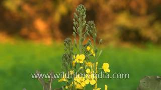 Download Broccoli flowers, florets, leaves and heads Video