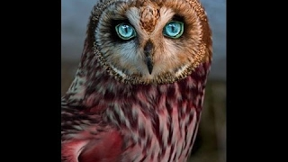 Download OWLS - Owl Documentary (HD) Amazing Film, Harry Potter Birds (Earth Documentaries) Video