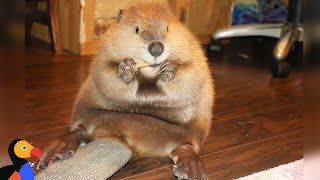 Download Rescue Beaver Loves Building Dams In His House - JUSTIN BEAVER | The Dodo Video