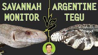 Download Savannah Monitor vs Argentine Tegu - Head To Head Video