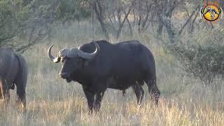 Download Buffalo Hunt 2018 Video