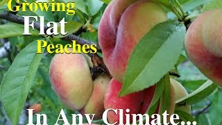 Download Growing Flat Peaches Fruit Tree Variety Video