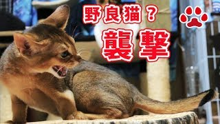 Download 野良猫か?仔猫部屋襲撃される【瀬戸の猫部屋日記】Stray cats?Kittens room was attacked Video
