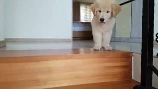 Download Puppy Lays down at the Top of Stairs Video