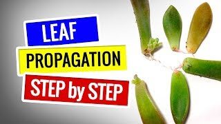 Download Succulent Propagation - Step by step || Succulents for beginners Video