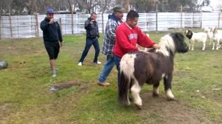 Download Jaripeo Jube en Goshen, pony ride Video