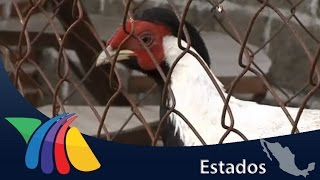 Download Cría de animales exóticos para comercializarlos | Noticias del Estado de México Video