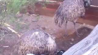 Download Booming Emu Video