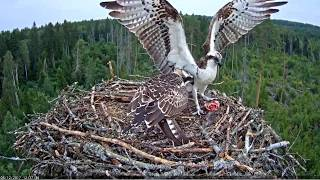 Download Ten fish deliveries to the nest of the osprey Video