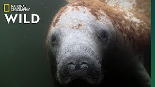 Download Manatees Are the ″Sea Cows″ of the Coasts | Nat Geo Wild Video