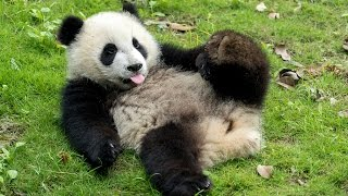 Download VOLUNTEERING WITH GIANT PANDAS IN CHINA Video
