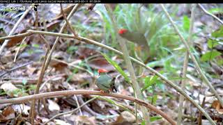 Download Lance-tailed Manakin Practices Dancing With Subadult Males Video