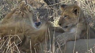 Download SafariLive - Two lion dads and two cute little brats. Video