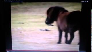 Download Horse Killing & Eating Baby Birds - Discussing Horse's Diet Do Horses Eat Meat Video