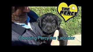 Download Choosing Labrador Puppy (Percy) at 7 weeks old Video